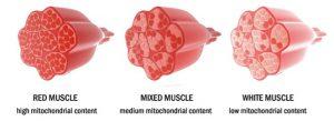 Muscle-fibre-types