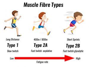 muscle-fibre-types400